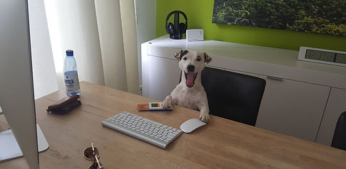 Parson Russell Terrier achter een bureau