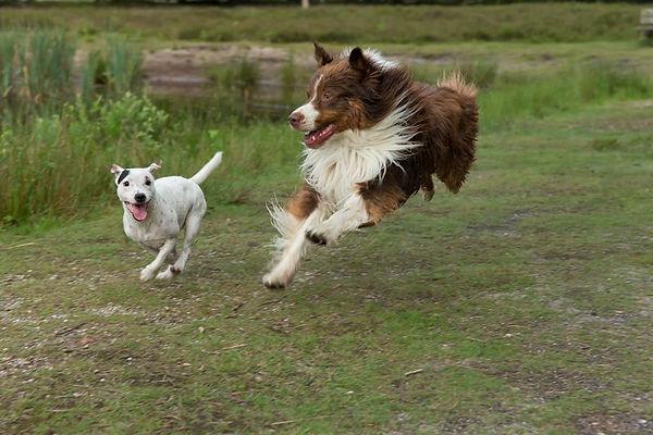 Parson met andere hond hard aan het rennen
