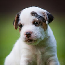Parson Russell Puppy