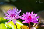 Twin Water lilly