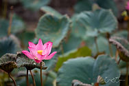 Lotus Artwork
