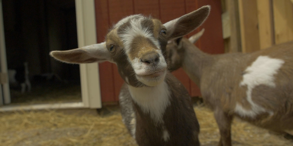 Baby Goat Yoga     SOLD OUT