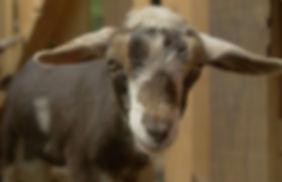 Goats - Sushi 3 jpeg_edited.jpg
