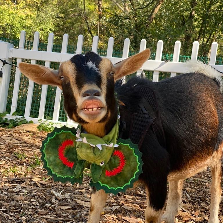 BYOB Halloween Goat Yoga  & Goat Fun!