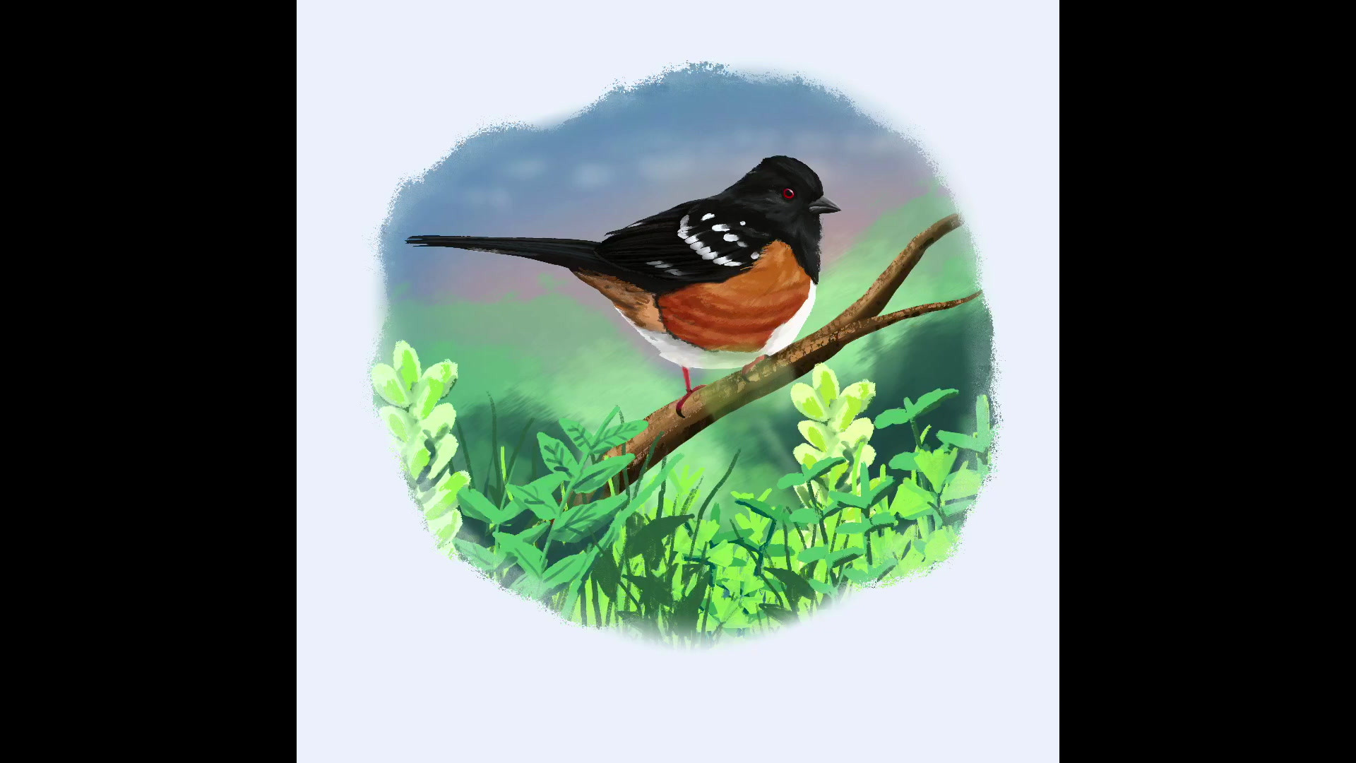 Spotted Towhee.mp4