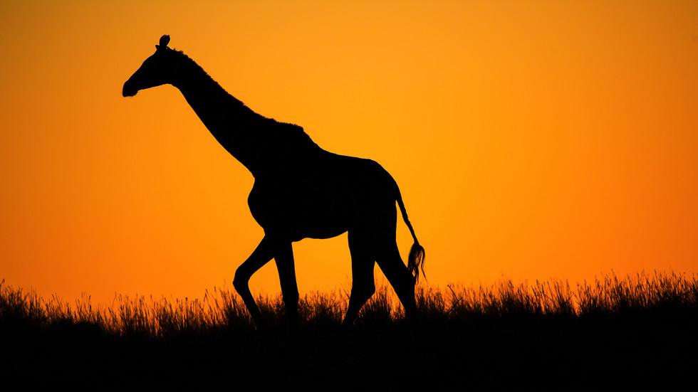 Giraffe vor untergehender Sonne, Kgalagadi TFNP, Südafrika