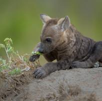 Tüpfel-Hyänen-Baby