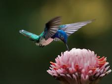 Kolibri/White-necked Jacobin