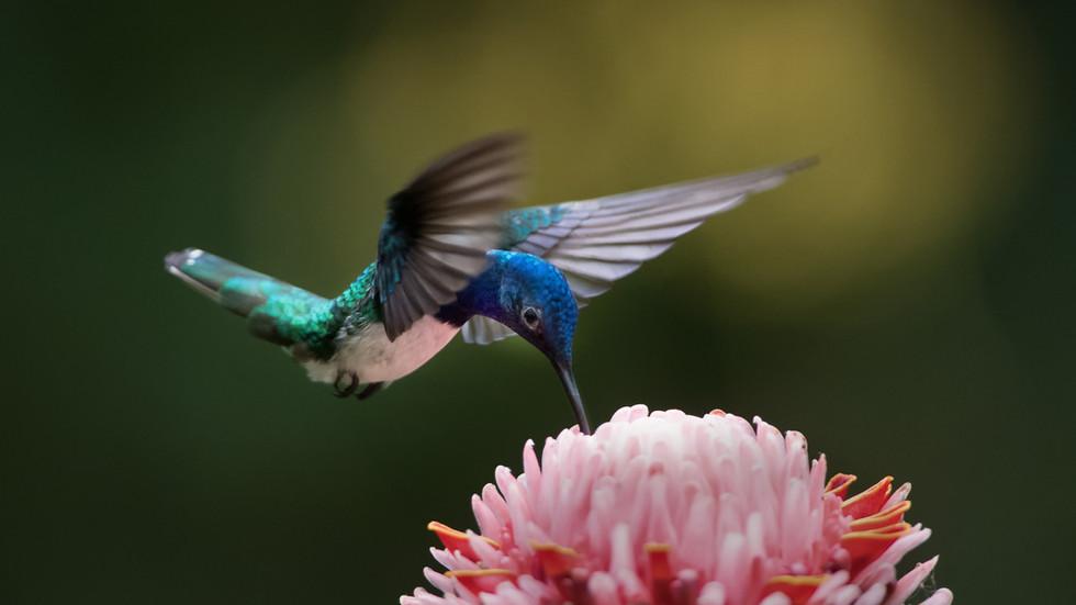 Kolibri, Costa Rica