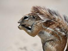 Kap-Borstenhörnchen / Cape ground squirrel