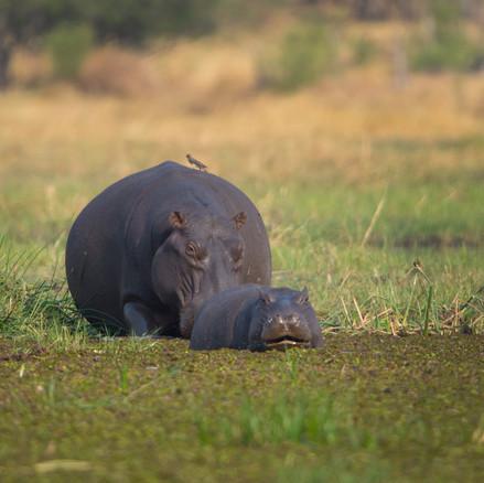 Flusspferdmutter mit Baby