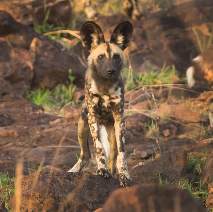 Junger Wildhund