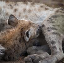 Tüpfel-Hyänen-Baby mit Mama