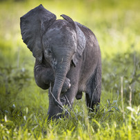 Elefanten-Baby mit Kuhreiher