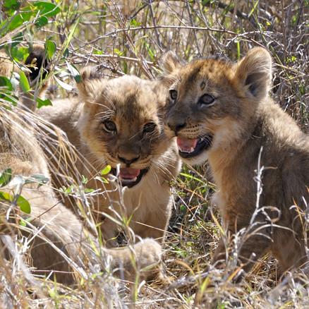 Zwei Löwenbabys