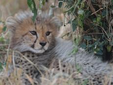 Gepard Baby / Cheetah baby