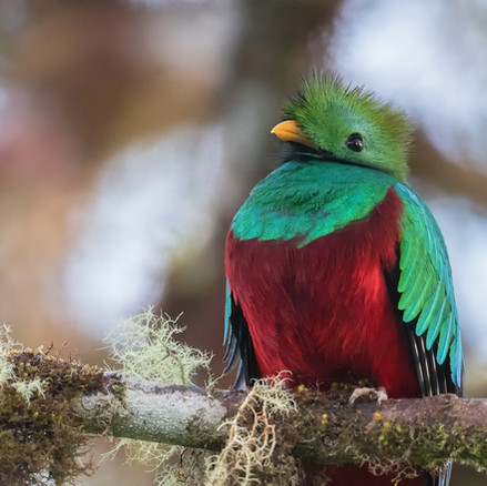 Splendid Quetzal
