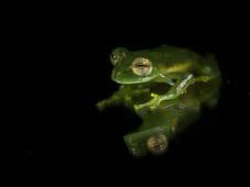 Glasfrosch/glass frog