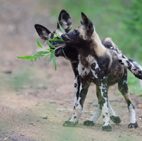 Junge Wildhunde