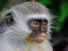 Südliche Grünmeerkatze / Vervet monkey