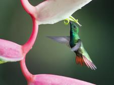 Kolibri/humming bird