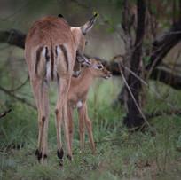 Impala- Baby