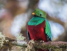Resplendent Quetzal m
