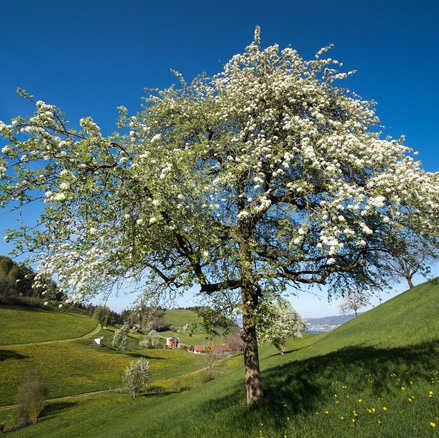 Apfelblüten, Fernischt, Meierskappel, Schweiz