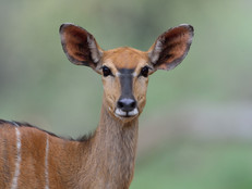 Kudu weibchen / Kudu female