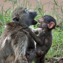 Pavianbaby mit Mutter