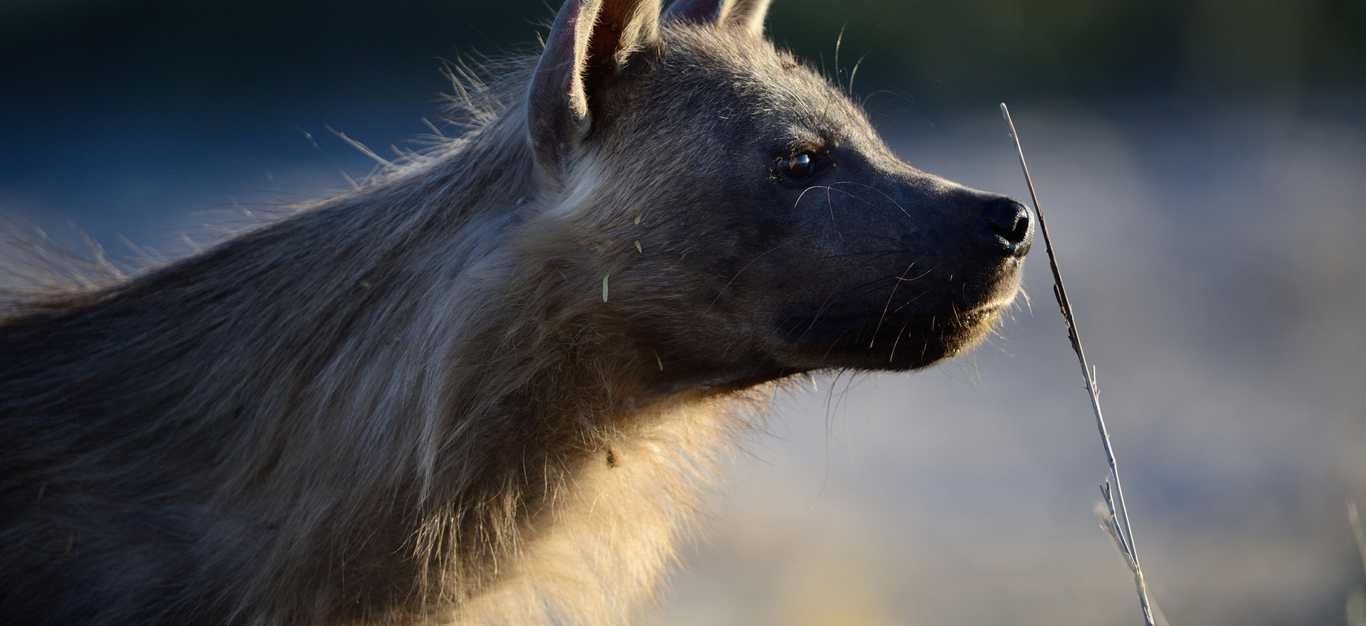 Braune Hyäne, Kgalagadi TFNP, Botswana