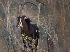 Rappenantilope / Sable Antelope