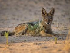 Schakal / Black-backed jackal