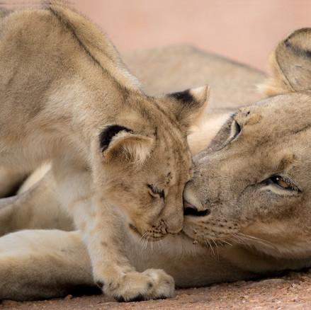Löwen-Baby mit Mama