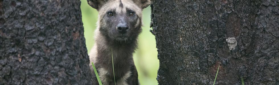 Wildhund, Kafue NP, Zimbabwe