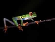 Rotaugenfrosche/Gaudi frog