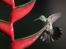 Kolibri/himming bird
