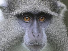 Samango Affe / Samango monkey