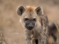 Tüpfelhyänen Baby / Spotted Hyena