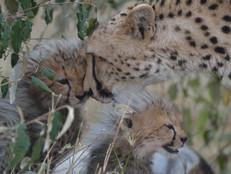 Geparde / Cheetah