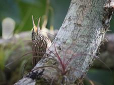 Baumläufer/streak headed woodceeper