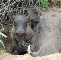 Junges Warzenschwein mit Mama