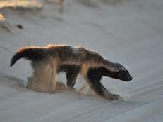 Honigdachs / Honey badger