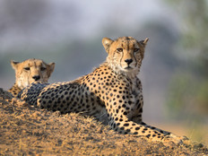 Geparde / Cheetahs