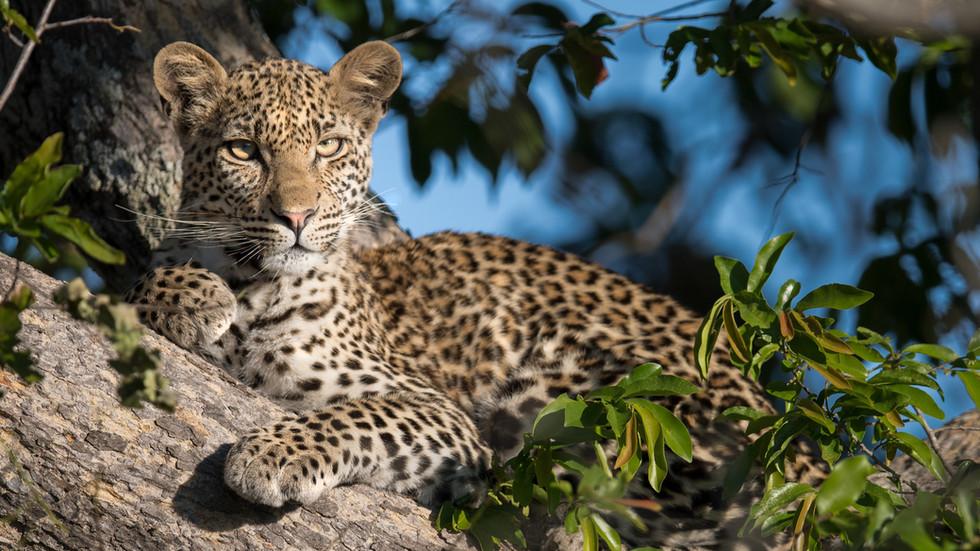 Leopard, Krüger NP, Südafrika