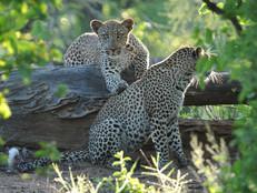 Leoparden / Leopards