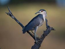 Nahctreiher/night heron
