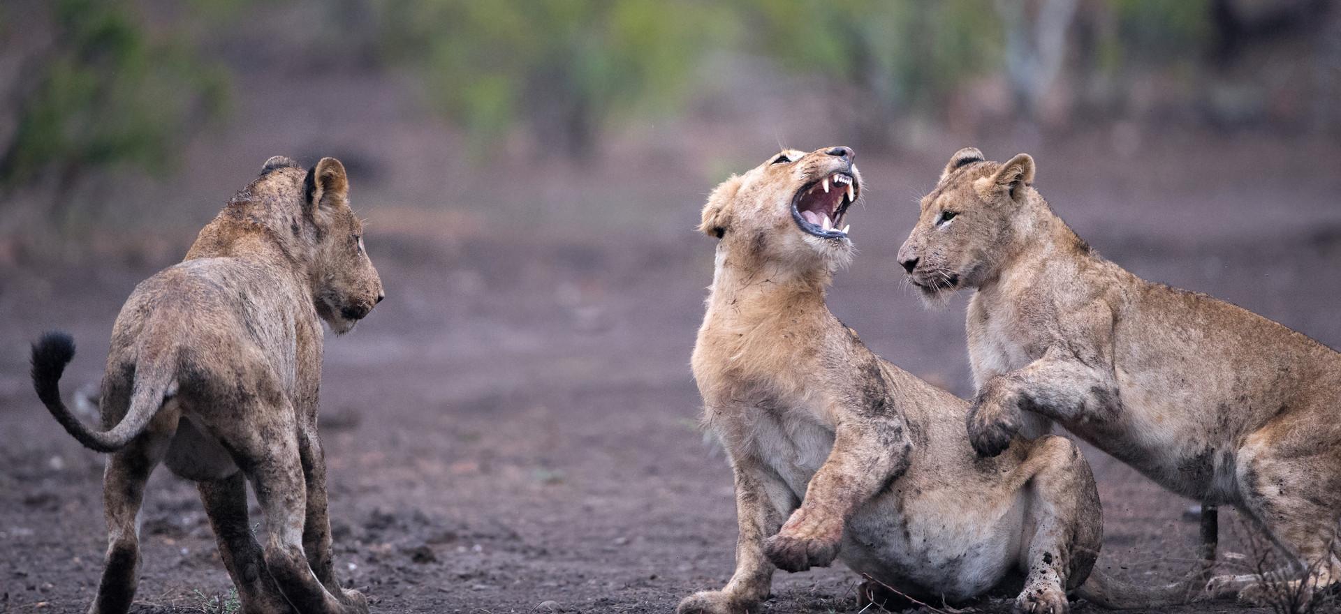Löwen, Kruger NP, Südafrika