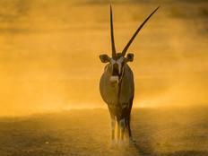 Spiessbock / Oryx