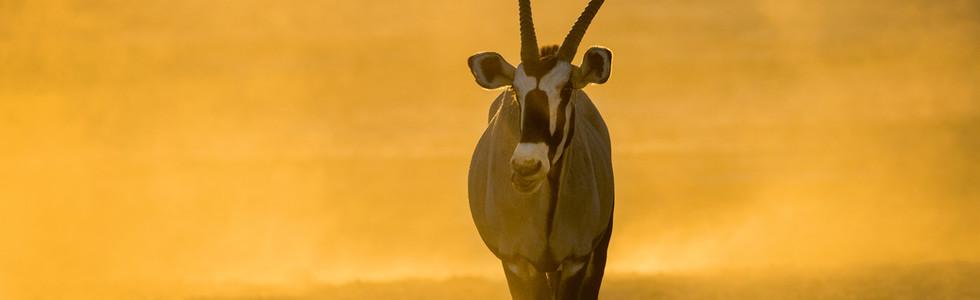 Oryx, Kgalagadi TNP, Südafrika